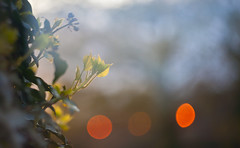(drfugo) Tags: sunset sun green spring bokeh ivy canon5d newgrowth hbw helios44258mmf20