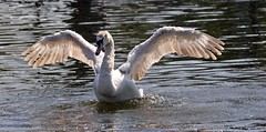 Swan displaying (Colin P2009) Tags: birds swans me2youphotographylevel2 me2youphotographylevel3 me2youphotographylevel1 me2youphotographylevel4 e2youphotographylevel2