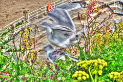 Gulls - hdr (philb1959) Tags: flowers seagulls green yellow fence weeds gulls whitby mating hdr blinkagain