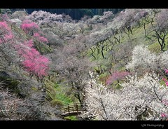 Spring in the Mountain (Yoshino baigo, Japan) (VJR's Ethereal Earth) Tags: spring 2012 plumblossoms nikon1755 springphotography yoshinobaigo japaneseplumblossom nikond7000