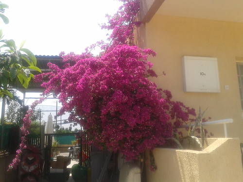 More of the bouganvilla.