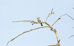 Hoopoe / Upupa epops / T (Panayotis1) Tags: birds canon aves greece upupaepops hoopoe animalia chordata upupa upupidae coraciiformes canonef400mmf56lusm imathia   66 tafros66 t kenkopro300afdgx14x