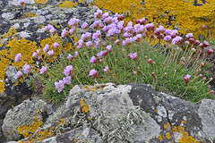Colour Clash (Chris Mullineux) Tags: sea beach nikon lichen pinks ynysmon anglesey d90 rhosneigr seapinks nikond90