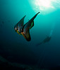 dvr2batfish9396pw (gerb) Tags: blue sun topv111 nice topv333 underwater bubbles scuba diver fins similan batfish tvp similanislands aquatica d7000 sigma1017fe