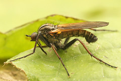 Empis species - Dansvlieg species (henk.wallays) Tags: species empis dansvlieg maldegemveldenmiseriebocht