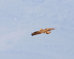 Common Buzzard looking up (Panayotis1) Tags: nature birds canon aves greece animalia buteobuteo accipitridae commonbuzzard chordata   accipitriformes canonef400mmf56lusm imathia   66 tafros66 kenkopro300afdgx14x
