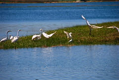 The gathering of Egrets! (ineedathis) Tags: blue white newyork green nature water grass birds longisland greategrets smithtown nikond80 nisseguogueriver