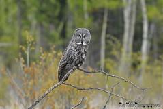 Great Gray Owl DSC_7340 (Ron Kube Photography) Tags: canada bird nature birds fauna nikon alberta owl greatgrayowl ornithology owls greatgray strixnebulosa southernalberta d300s globalbirdtrekkers ronaldok nikond300s ronkubephotography