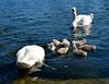 Cygnets on the Serpentine in Hyde Park (brent flanders) Tags: uk london nikon cygnet swans hydepark kensington d7000 nikond7000 nikon1024mmf3545gedafsdxnikkorwideanglezoomlens