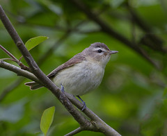 Warbling Vireo (markvcr) Tags: bird songbird vireo warbling photocontesttnc12 freedomtosoarlevel1birdphotosonly freedomtosoarlevel2birdphotosonly freedomtosoarlevel3birdphotosonly freedomtosoarlevel4birdphotosonly freedomtosoarlevel4birdsonly
