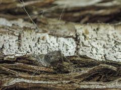 Una Araña (Araneus angulatus) en el centro de control de su tela (Joaquim F. P.) Tags: adaptador adapter arachnida araneido araneusangulatus arthropoda artrópodo arácnido cataluña dcr250125mm8d2g3e fauna junio naturaleza p300 primavera spider vilaseca raynox spidersilk spiderweb telaraña parque nikon araña arachnid animal jfp catalunya tarragona macro fotografia compact creativecommons camera fotomacrografía macroextremo macrophotography joaquimfp aracnido lapineda costadorada salou costadaurada naturalista fotografianaturalista mediterranean goldencoast extreme closeup
