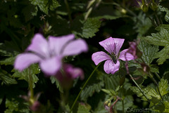 (justyourcofchi) Tags: pink flowers summer england plants sun green nature garden petals model flickr photographer wildlife insects environment chiarnold justyourcupofchicom justyourcupofchi