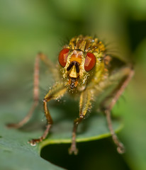 IMG_0010 Yellow Dung Fly (Scathophaga stercoraria), Attleborough Fields, Nuneaton, Warwickshire 13June12 (Lathers) Tags: warwickshire nuneaton yellowdungfly scathophagastercoraria canon7d canonef100f28lisusm attleboroughfields
