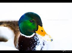 Duck (Virginia Wilhelmer) Tags: winter light shadow white snow color green bird animal yellow canon austria duck day 7d tyrol