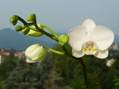 la mia orchidea  rifiorita (solonanda non c' pi) Tags: flowers sky white nature natura fiori azzurro bianco orchidea thegalaxy platinumheartaward artistoftheyearlevel2 artistsoftheyearlevel3 musictomyeyeslevel1 rememberthatmomentlevel1 rememberthatmomentlevel2