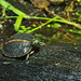 Hatchling Southern Painted Turtle
