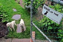 Beware of the Dogs (5of7) Tags: two dog pet pets signs dogs nature animal animals sign rural fence mammal gate funny open small humor humour fromabove lookdown lookingdown twoofakind challengewinner pregamewinner pregamesweepwinner