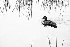(deanbouchard) Tags: reflection duck nikon ns halifax d90 tamron90mmf28