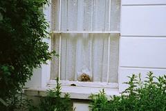 The Maharaja (deepstoat) Tags: london film window 35mm curtains holloway contaxt3 kodakportra thelittledoglaughed peekingpekingese