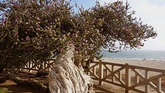 Gnarled Tree (rockinbeat) Tags: ocean tree view santamonica gnarled palisadespark oceanavenue me2youphotographylevel1 sonydscrx100