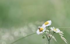 MY FLOWER #2 (HadeelAlhamid) Tags: flower green garden sunflowers  hadeel     flickraward hadeelalhamid