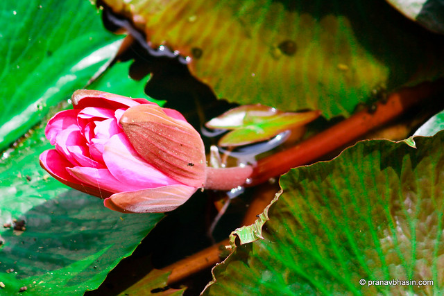 Lotus Bud, Periyar Tiger Reserve, Thekkady