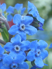 blue flower cluster (enveehaze) Tags: flowers blue macro cluster indigo