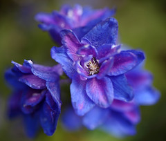 Larkspur Blues (AnyMotion) Tags: flowers blue plants macro nature floral colors colours purple blossom frankfurt ngc natur pflanzen blumen npc blau makro blte delphinium larkspur 2012 farben violett rittersporn makroaufnahmen anymotion canoneos5dmarkii 5d2