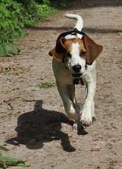 Running along (funkedup1981) Tags: dog beagle dogs hound beagles scenthound