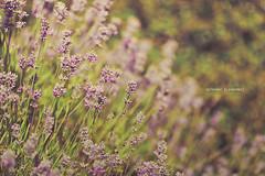 Splendor [Lavender] (Mahoney Photography WA) Tags: flowers light summer flower color green colors beautiful beauty canon pretty dof purple bokeh pastel lavender depthoffield tones 135mm 5dmarkii