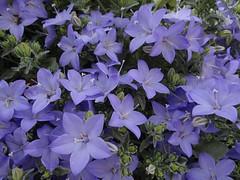 Campanula isophylla (Kniphofia) Tags: rhsharlowcarr alpines