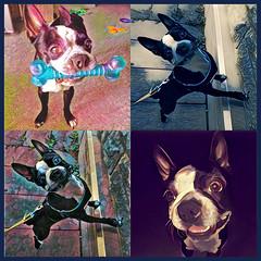 Bully Art (lezumbalaberenjena) Tags: prisma art pop bully dog perro chien boston terrier