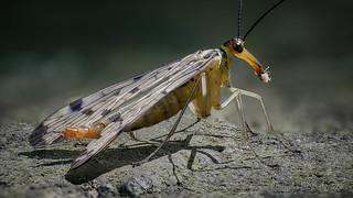 Deutsche Skorpionsfliege (Panorpa germanica) Weibchen, bei einer kleinen Mahlzeit in der Mittagssonne