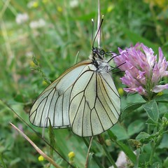 Black-veined White - Aporia crataegi (Camerar) Tags: butterflies butterfly insect pyrenees spain pieridae blackveinedwhite aporiacrataegi