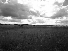 cows and clouds (Giel Pieter) Tags: field air clouds dutch holland thenetherlands panasonic panasoniclumixgx7 panasoniclumix cow nature