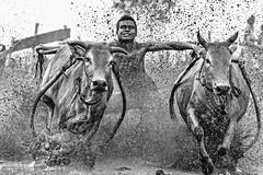 s Jul30_PJ_DSC_6328 (Andrew JK Tan) Tags: pacujawi tanahdatar sumatra cows racing race splashes mud indonesia