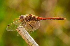 Sympetrum vulgatum (notastyy) Tags: macro closeup dragonflies dragonfly nature wildlife insect
