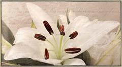 In nature there are few sharp lines. (A.R. Ammons) (boeckli) Tags: flowers blumen blten bloom blossom blossoms blooms lilies lilien white weiss topaz topaztextureeffects plants pflanzen pastel pastell serene painterly textures texturen photoborder netartii