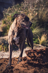 Juliet on the rocks. (P S H Morgan) Tags: dog animal pet american staffordshire terrier bull arab cross breed hybrid brindle friendly outdoors beach dof bokeh melbourne australia victoria canon 500d 50mm