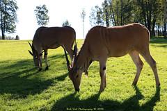 Common eland (Rick & Bart) Tags: mondesauvage commoneland taurotragusoryx elandantilope aywaille luik belgique belgië animal zoo rickvink rickbart gününeniyisi thebestofday