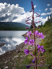 Alpine fireweed (VFR Photography) Tags: ridgway ouraycounty colorado co alpinefireweed chamerionangustifoliumnarrowleaved} willowherb greatwillowherb rosebaywillowherb silverjackresevoir lake lakes wildflower wildflowers native flowers nature landscape uncompahgrenationalforest usfs cimmaronrange sanjuanmountains rockymountains purple blue vertical
