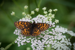 Butterfly and friend (jk-photos) Tags: natur blume grn flower schmetterling butterfly wald nikon d800