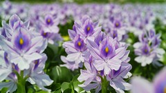 Water Hyacinth  (hotei aoi) (Kenih8) Tags: water hyacinth