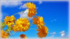 Summer Breeze (Bob's Digital Eye) Tags: bobsdigitaleye canon closeup efs24mmf28stm flicker flickr flower flowers framed garden gardenflowers outdoor plant sky softfocus summer t3i