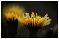 Burning petals (Stephen Braund) Tags: flower petal nature natur bokeh suffolk yourbestoftoday