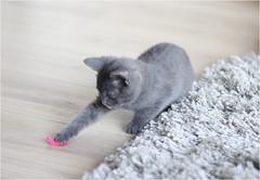 IMG_2533 (murkla_la) Tags: cat russianblue moussie gray graycat