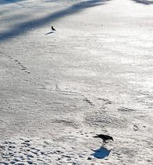 Crows on Ice (Jori Samonen) Tags: animal bird crow winter snow ice light shadow meilahti helsinki finland nikon d3200 180550 mm f3556 nikond3200 180550mmf3556 hooded