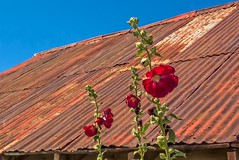 Hollyhocks and a Hot Tin Roof (jim.choate59) Tags: flower tinroof rust bluesky summer fruitfarm red jchoate rustyroof hotroof hollyhock on1pics