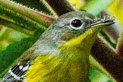 Warhol Warbler (rdroniuk) Tags: birds smallbirds warblers passerines magnoliawarbler setophagamagnolia oiseaux passereaux parulines parulinettecendre abstract
