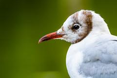 Bird (tomac_foto) Tags: bokeh portrait tiefenschrfe schrfentiefe tierportrait vogel bird tier 2016 schnabel mwe outdoor